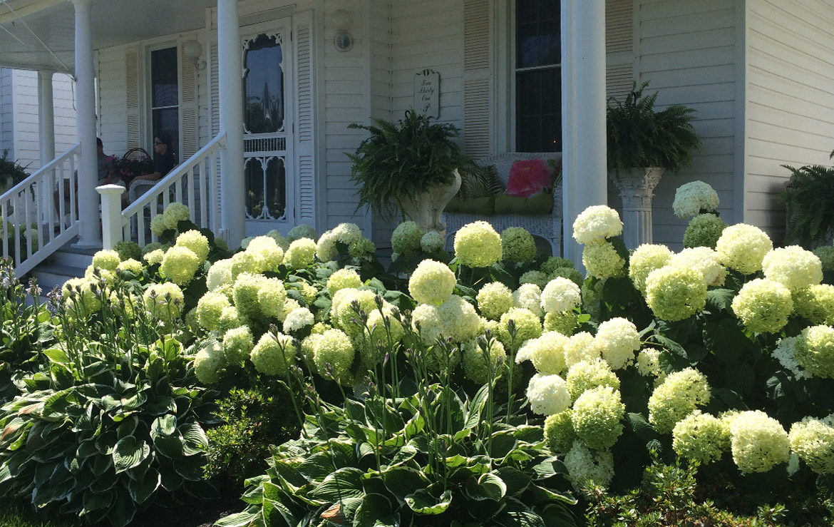 Sea-side garden of white flowering Hydrangeas and Hostas.